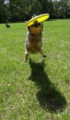 Hund jagt Frisbee