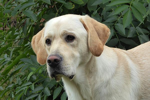 Hund - Labrador