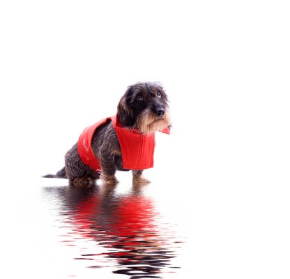 Hund mit Rettungsweste