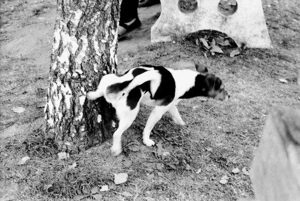 Hund pisst an Baum