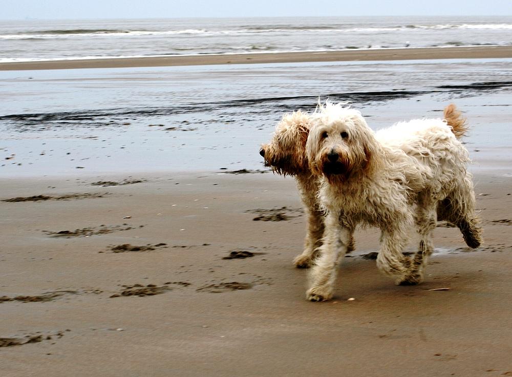 Hunde am Strand von Noordwijk (2)