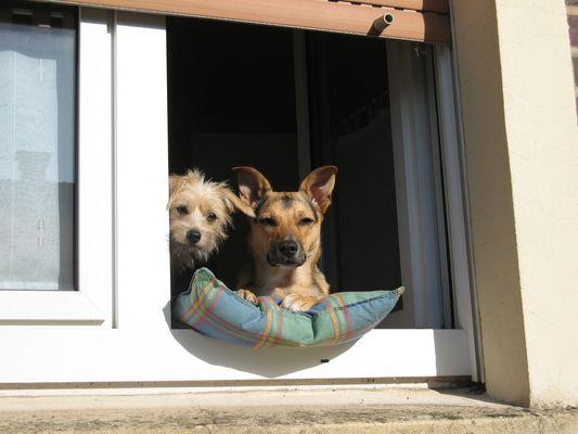 Hunde im Fenster
