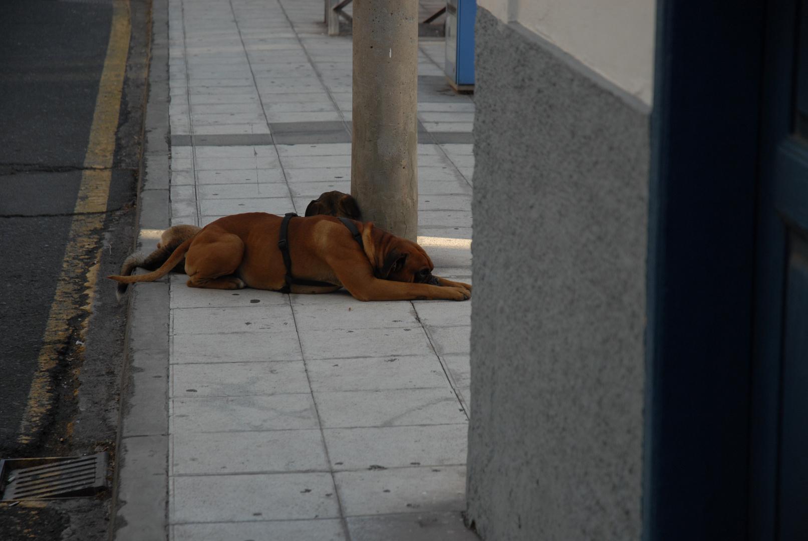 Hunde im Valle Gran Rey