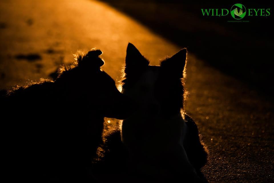 Hunde in der Abendsonne