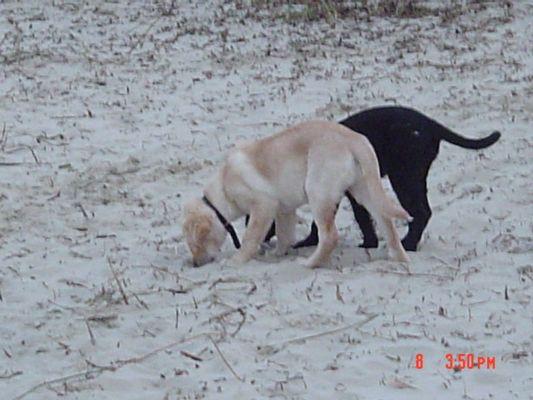 Hunde Schwarz/Gelb