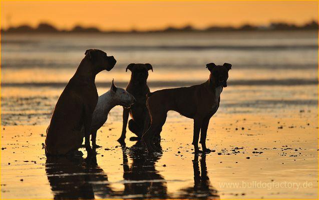 Hundebande im Sonnenuntergang