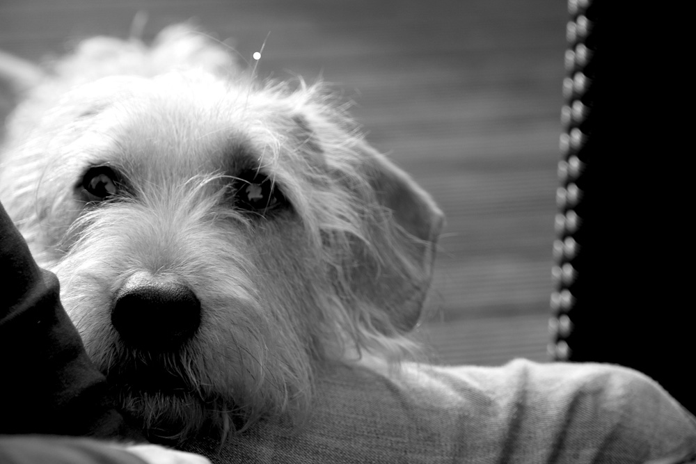 Hundeblick in Perfektion