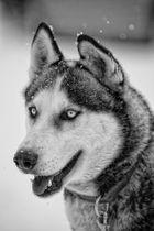Hundeporträt III