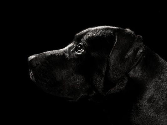 Hundeportrait II