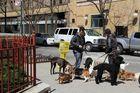 Hundesittter bei der Arbeit in NY