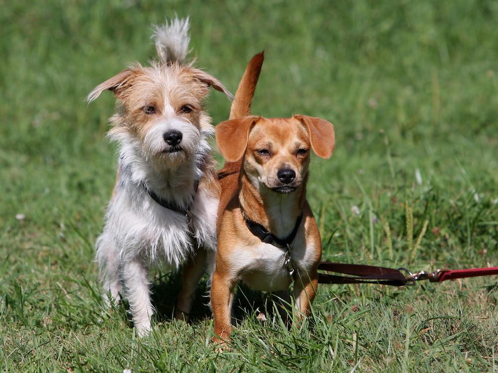 Hundesport Agility - Willi mit Schwester