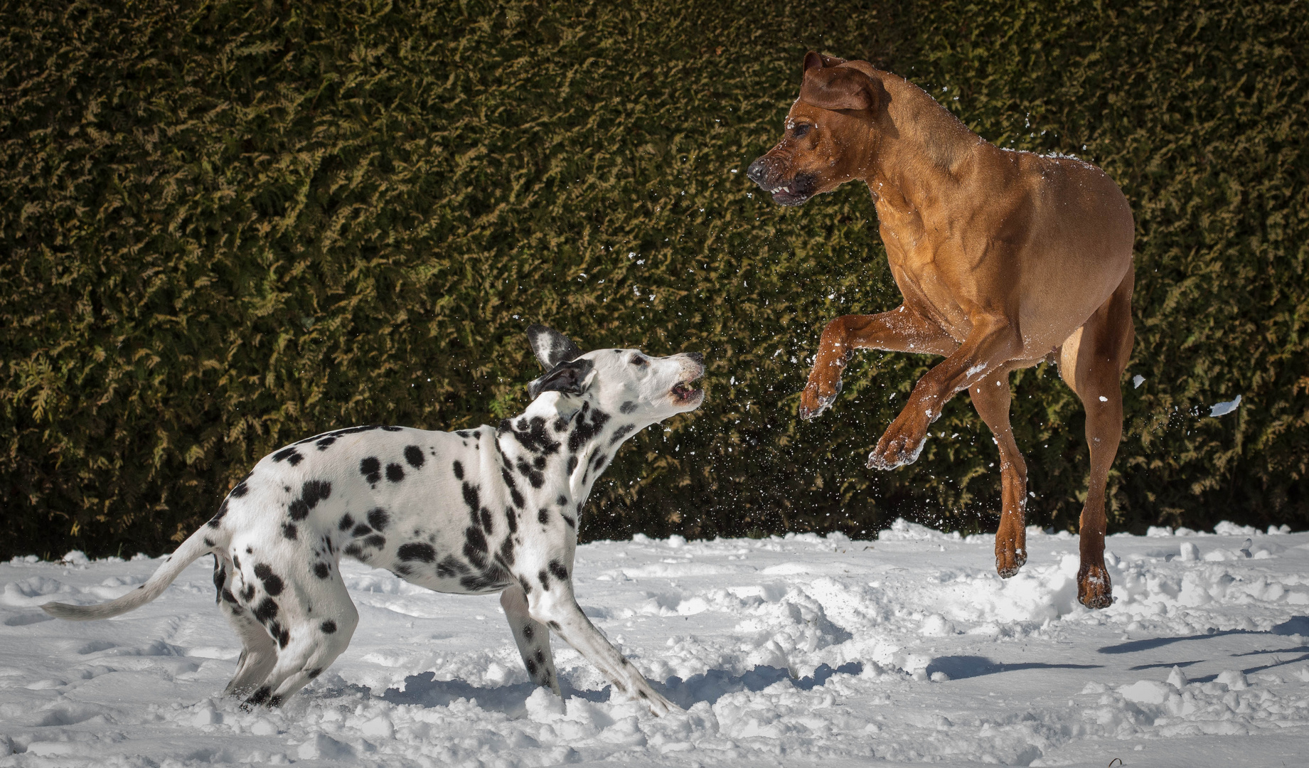 Hundetanz