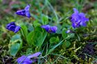 Hundsveilchen (Viola canina)