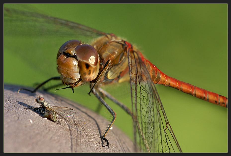 Hunger haben alle, auch Libellen.....