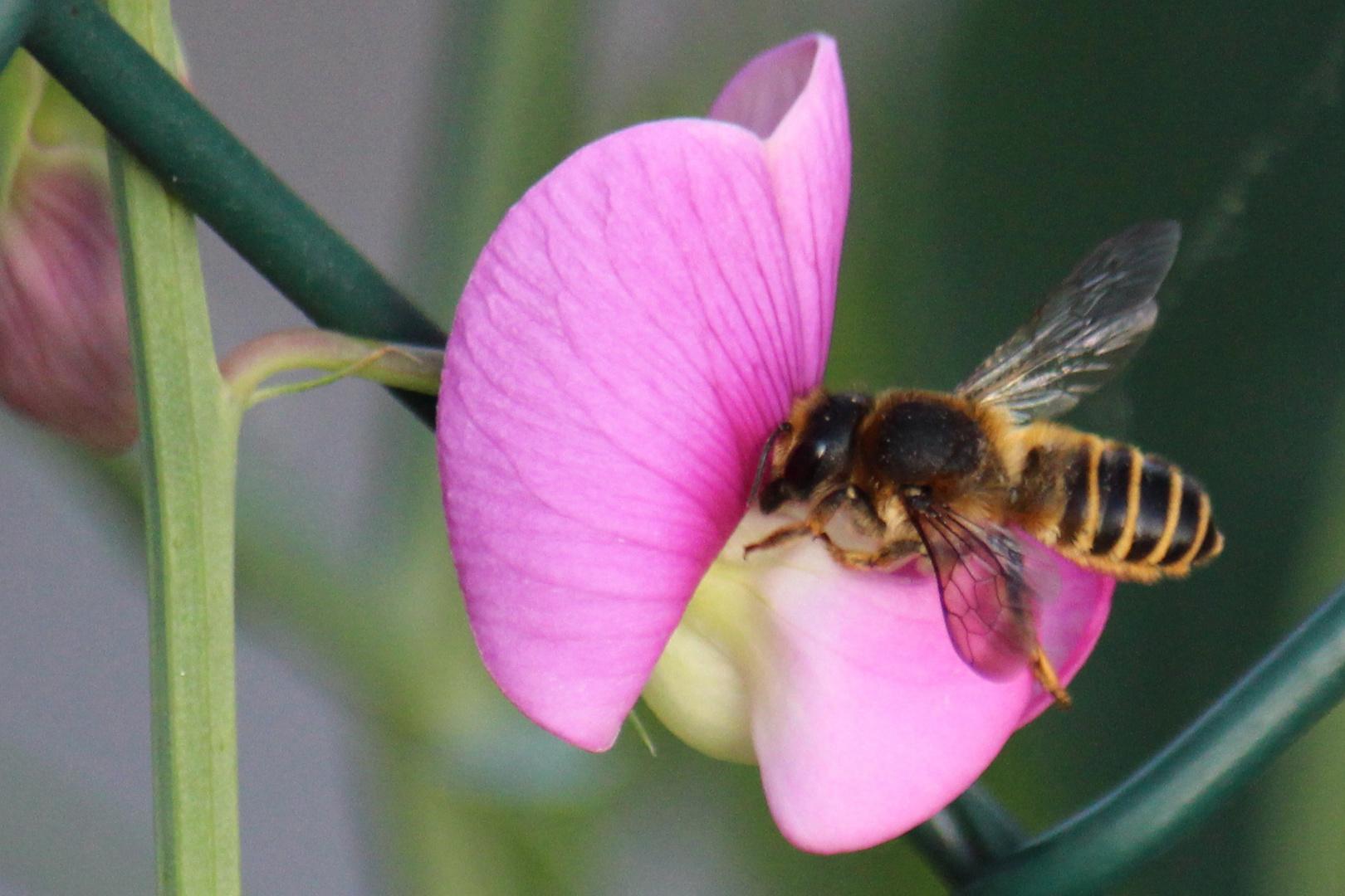 hungrige Biene an einer Wicke