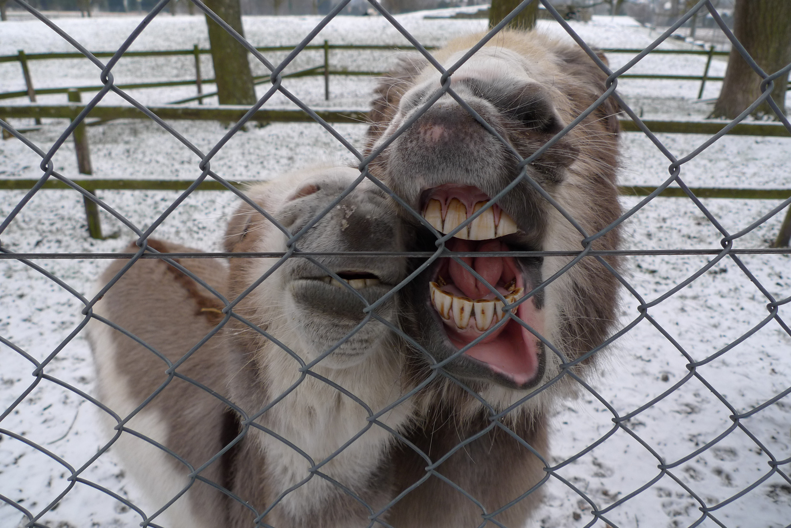 Hungrige Esel 1