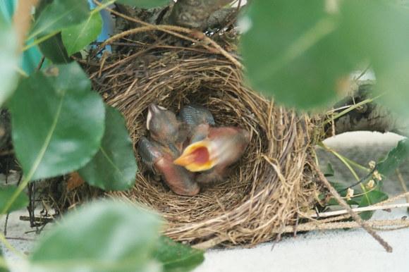 Hungrige junge Amseln im Nest