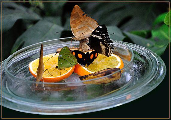 Hungrige Schmetterlinge auf Mainau