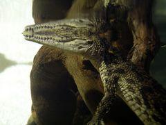 Hungriger Alligator