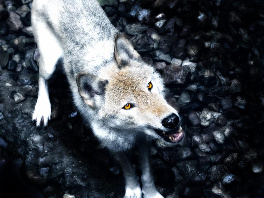 hungriger Wolf