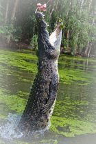 Hungriges Krokodil