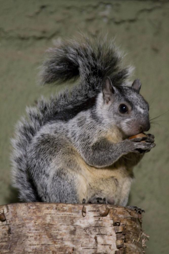 Hungriges Streifenhörnchen