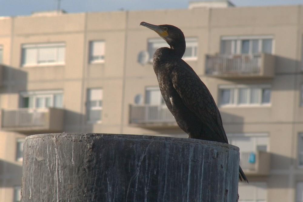 """hurban cormorant"""
