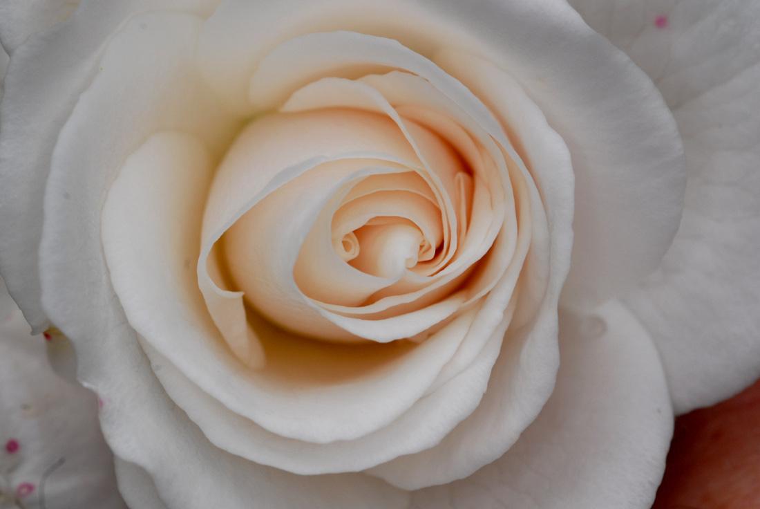 Hurra, die erste Rose ist da