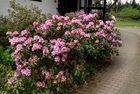 Hurra, jetzt ist der Frühling sogar bei uns da. Die Rododendron blühen