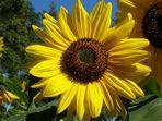 Hurra! Sonnenblume - heute!