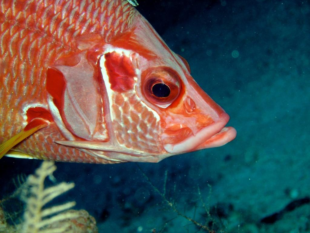 Husarenfisch