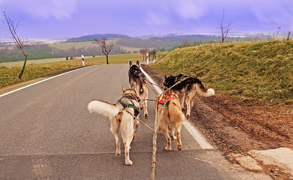 Huskies bei der Arbeit