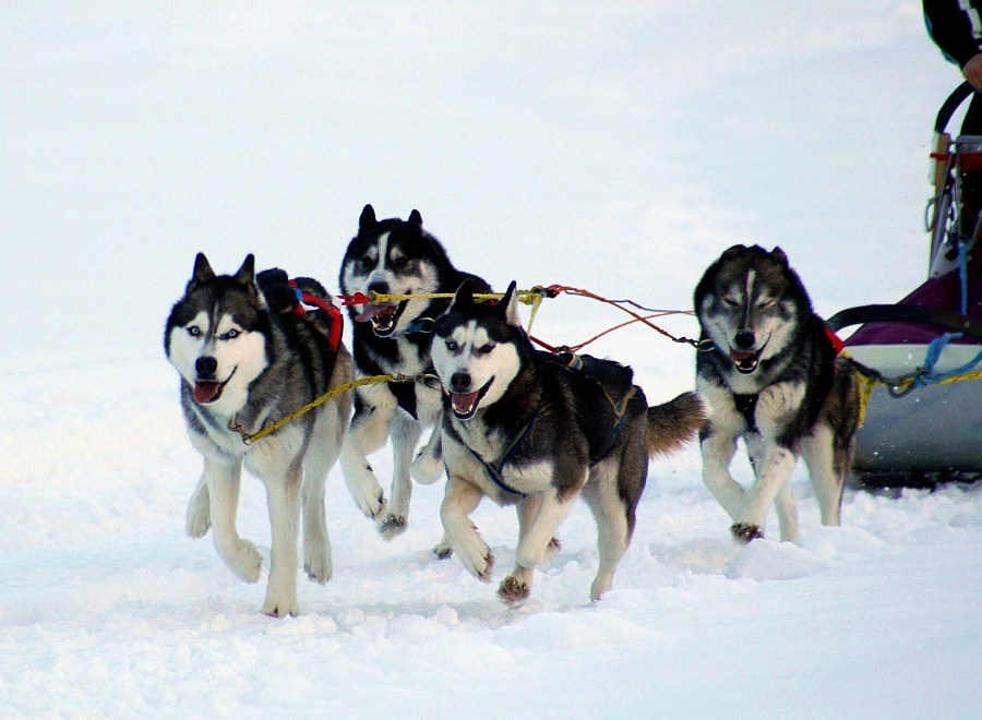 Huskies in action