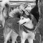Husky a Velden