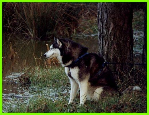 Husky auf Gras