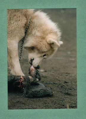Husky auf Grönland