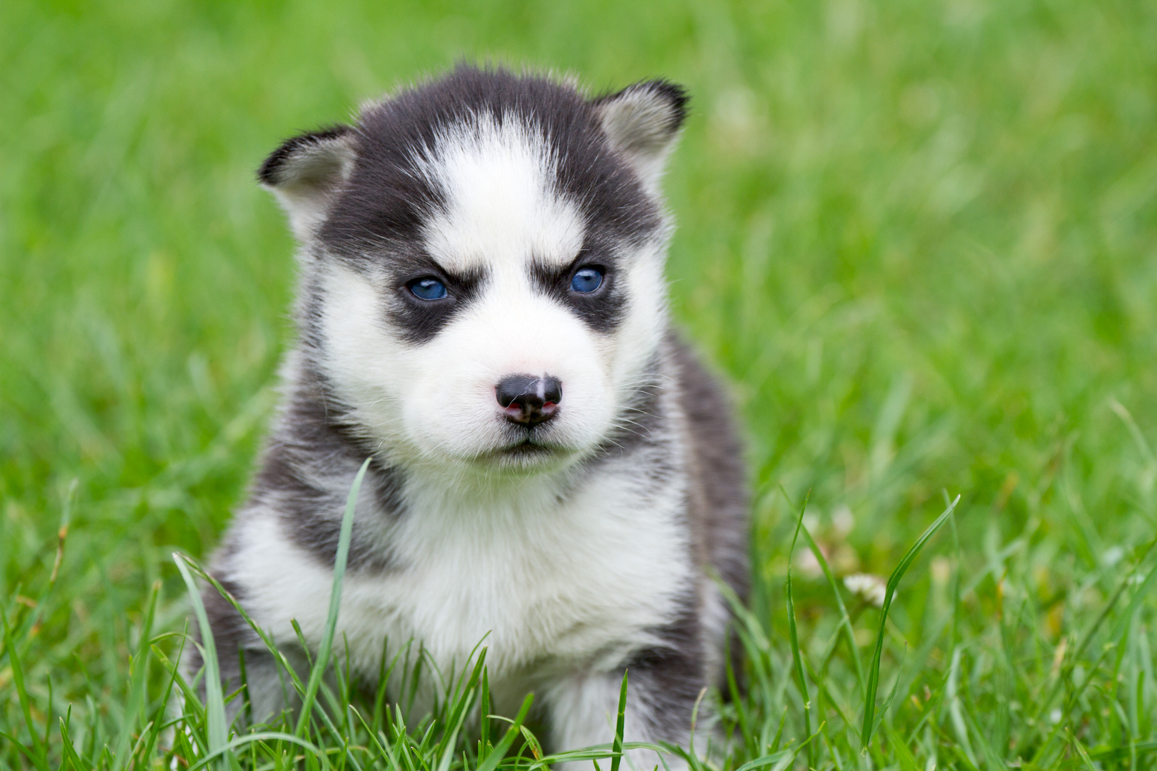 husky baby foto bild tiere haustiere hunde bilder auf fotocommunity. Black Bedroom Furniture Sets. Home Design Ideas
