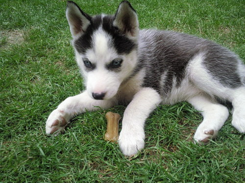 husky baby luna foto bild tiere haustiere hunde bilder auf fotocommunity. Black Bedroom Furniture Sets. Home Design Ideas