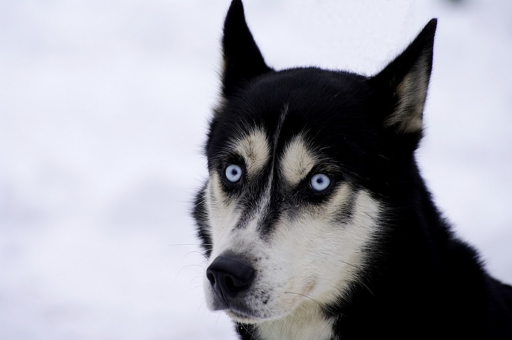 Husky II