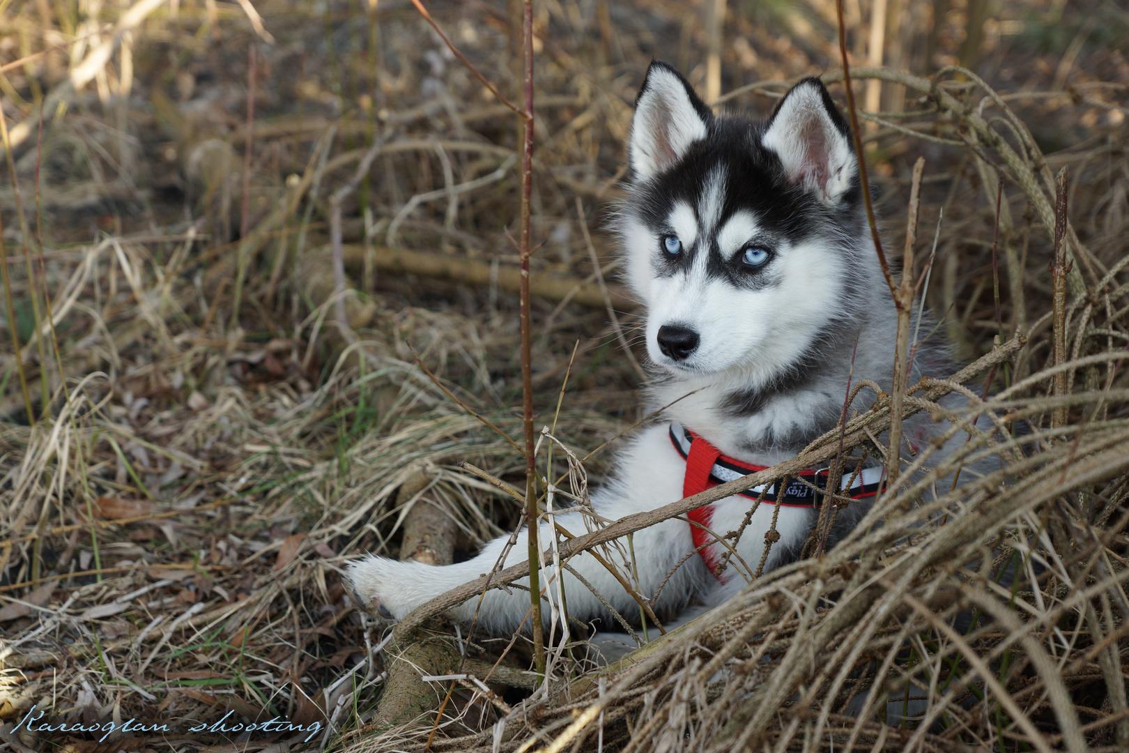 Husky in der Natur