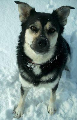 Husky-Labradormix Janis