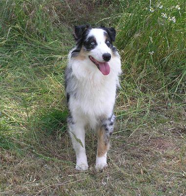 Husky oder Australian Shepherd ?