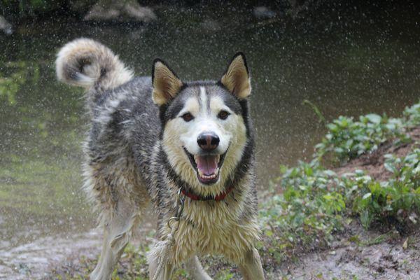 Husky schüttelt sich