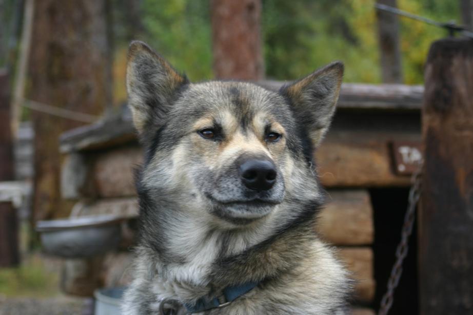 Husky - so richtig wach bin ich noch nicht