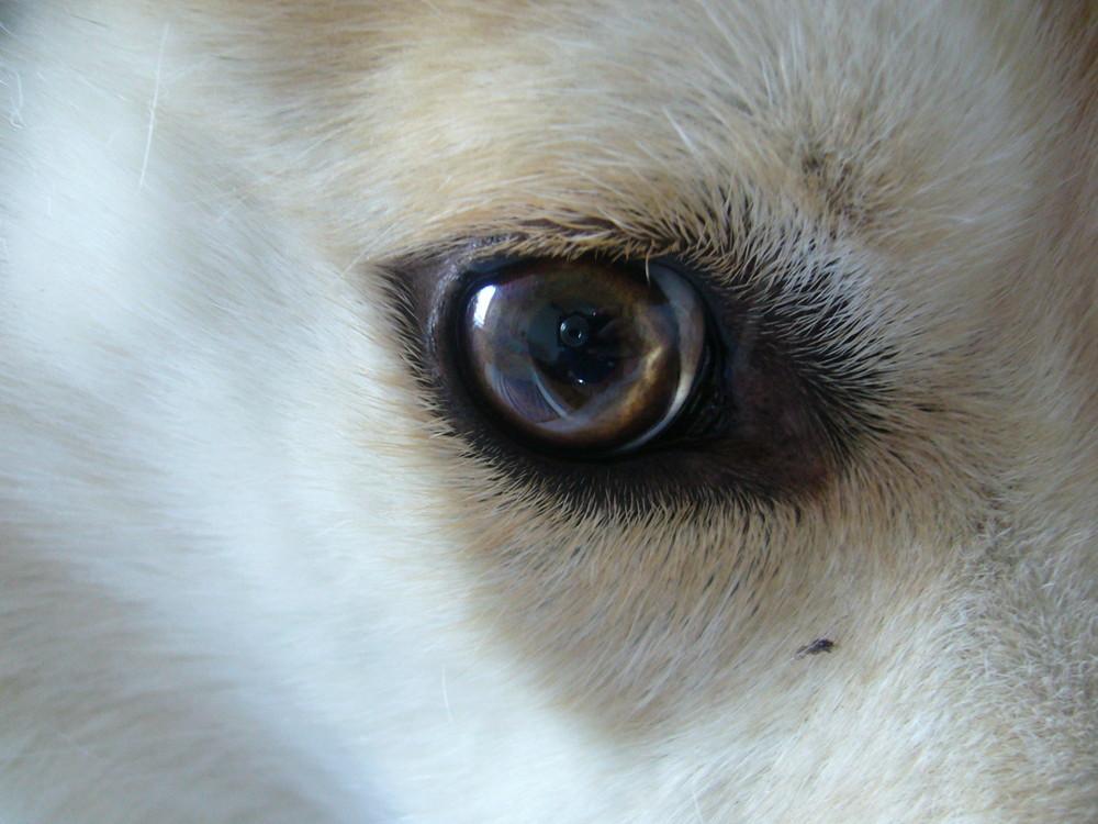 Huskyauge