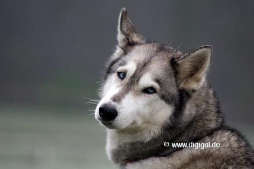 Huskyaugen