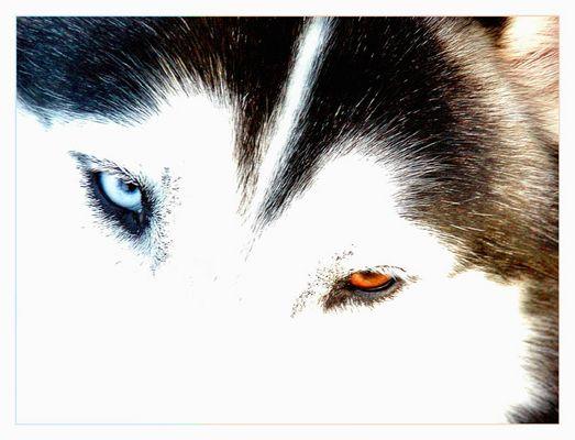 husky's eyes...