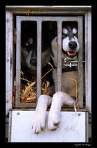 Huskys in the Box