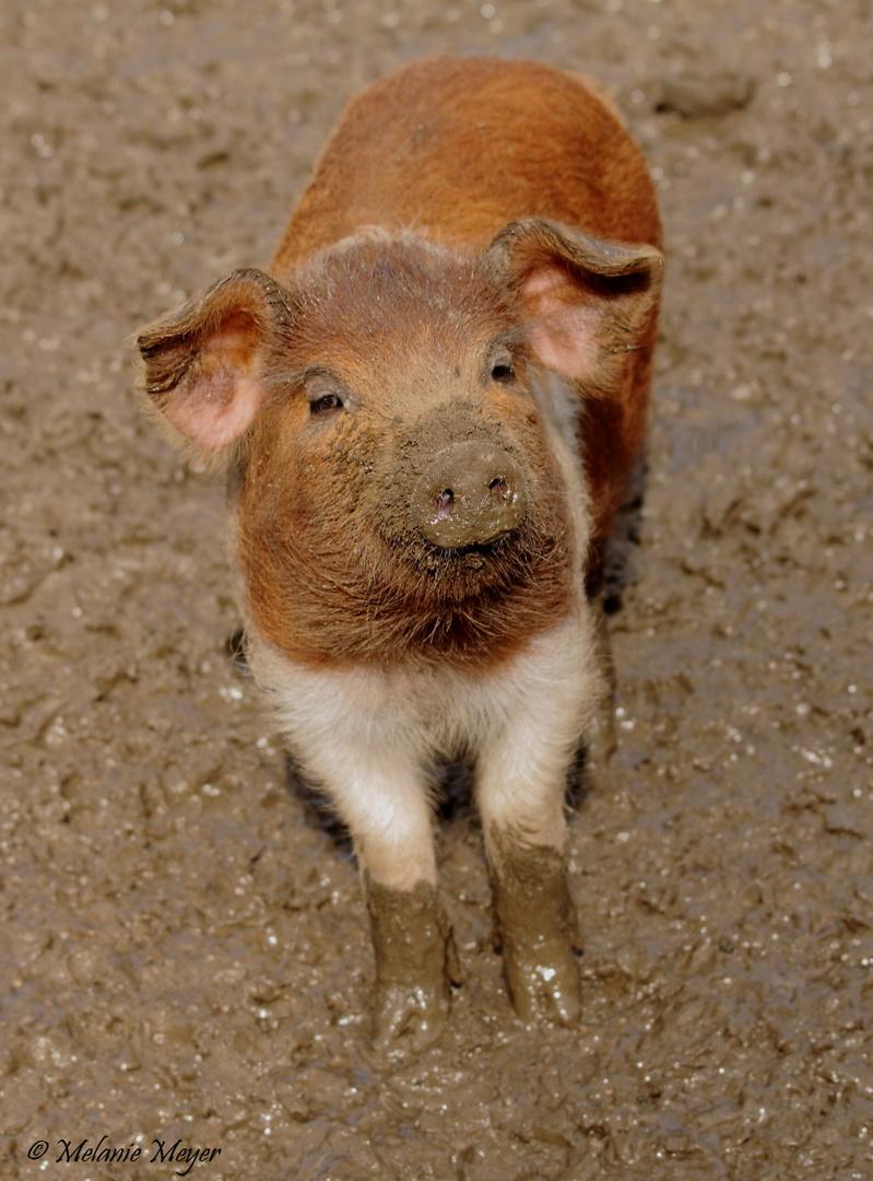 Husumer Protestschwein Ferkel