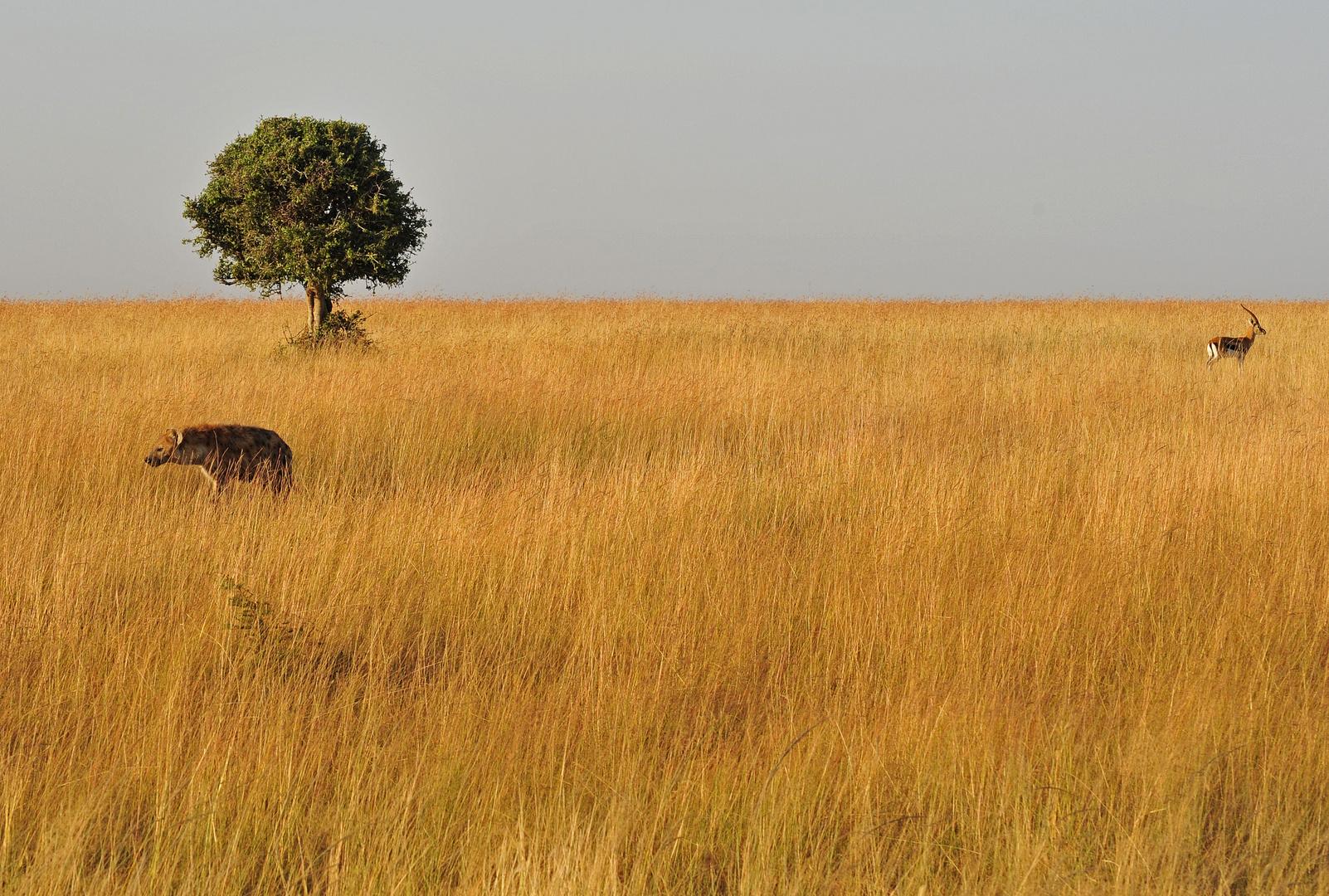 Hyäne auf der Suche